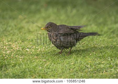 Blackbird Turdus merula, standing on the grass