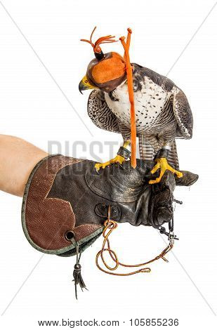 Wild Young Falcon With Cap On Trainer Glove Isolated