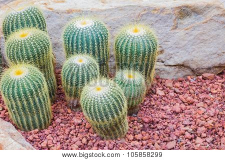Cactus - Parodia Claviceps (cactaceae) Copyspace On The Right