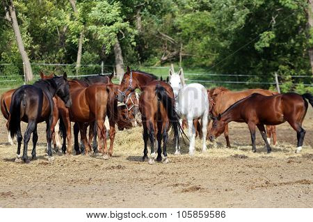 Group Thoroughbred Broodmares Sharing Hay Against Green Natural Background