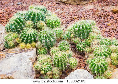 Cactus - Echinopsis Calochlora (cactaceae)