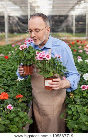 Skillful senior gardener is working in plant nursery