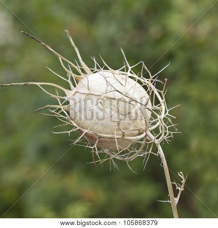 Faded Nigella (nigella Sativa, Calonge)