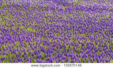 Purple Muscari Armeniacum Field