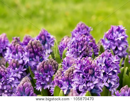 Purple Hyacinth In A Garden