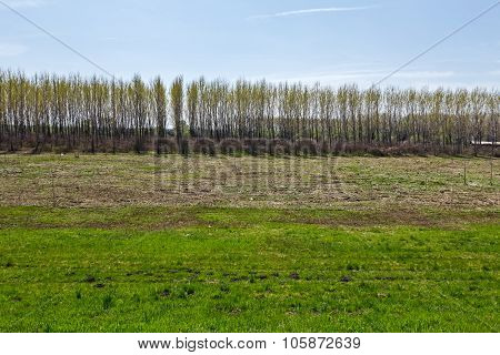 Young Poplars Trees Are Growing In Rows, Plantation For Paper Making.