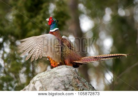The Cock Pheasant Performing His Mating Call
