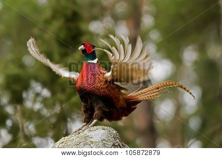 The Cock Pheasant (phasianus Colchicus) Ending His Mating Call