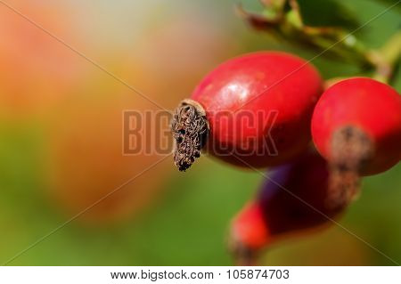 Rosehip in the nature