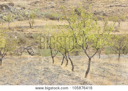 Almond tree cultivation