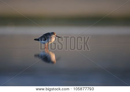 Common Redshank Awakening
