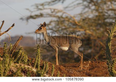 Kirk's Dikdik (small African antelope)
