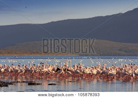 Flamingo flock (Lesser and Greater Flamingos Lake Bogoria Great Rift Valley)