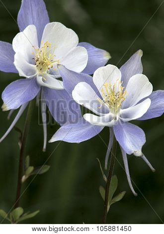 Blue Columbine 2 (aquilegia Coerulea)