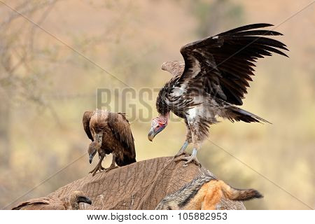 Lappet-faced and white-backed vultures scavenging on a dead elephant, Kruger National Park, South Africa