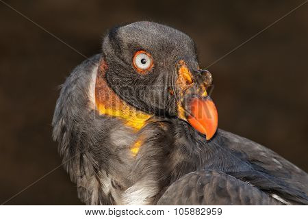 Portrait of an American king vulture (Sarcoramphus papa)