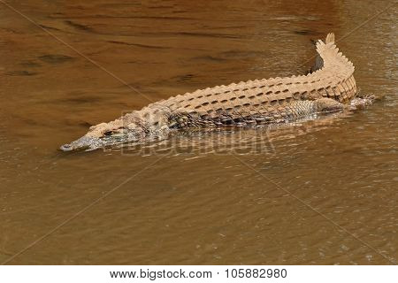 A Nile crocodile (Crocodylus niloticus) basking in shallow water, Kruger National Park, South Africa