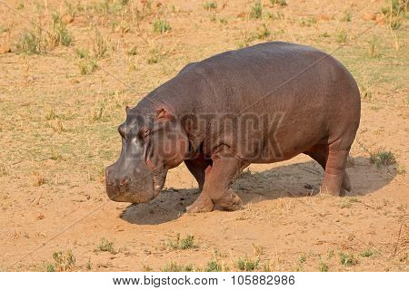 A hippo (Hippopotamus amphibius) on land, Kruger National Park, South Africa