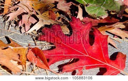 Fallen  Read Oak Lleaf