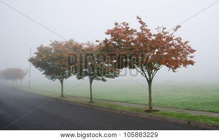Vine Maples In Redmond In Autumn Fog