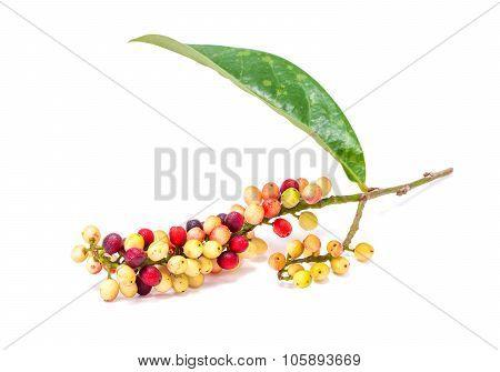 Antidesma velutinosum Blume Fruit isolated on white background