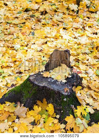 Fallen Yellow Leaves And Old Stump In Autumn