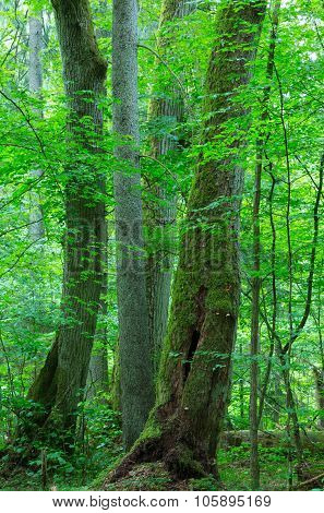 Group Of Old Trees In Summer Forest