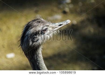 Ostrich Head Looking