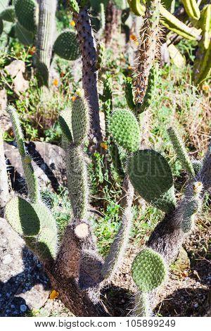 Wild Opuntia Cactus Outdoors
