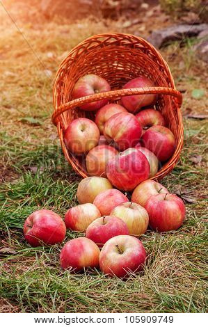 Apples Scattered From The Basket
