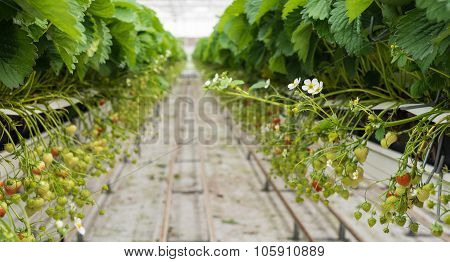Strawberry Runners In Long Rows In A Horticulture Company