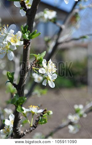 spring plum tree branch with blossoms