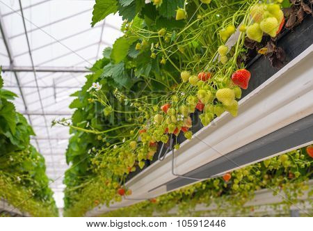 Ripening Strawberries In A Horticulture Company