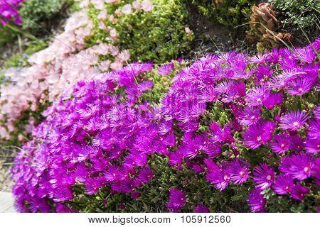 Hardy Ice Plant (delosperma Cooperi)