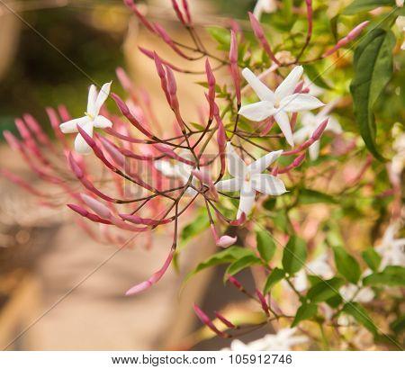 Flowering Jasmine,