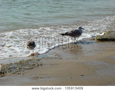 Herring gull (larus argentatus) - a large bird