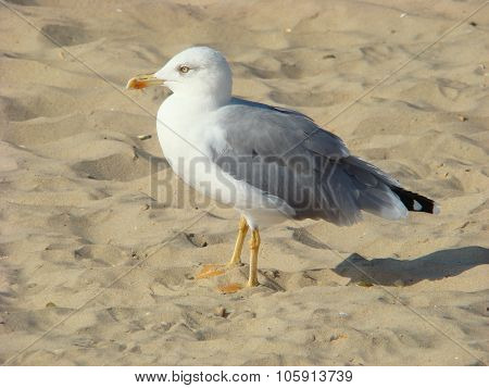 The young lady herring gull (larus argentatus) - a large bird