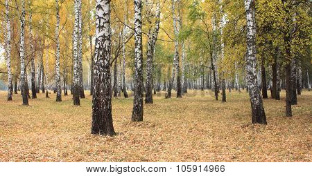 Yellow autumn birch forest.