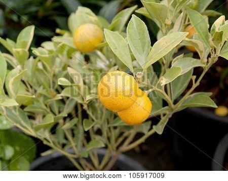 Kumquat, Golden Orange, Ornamental