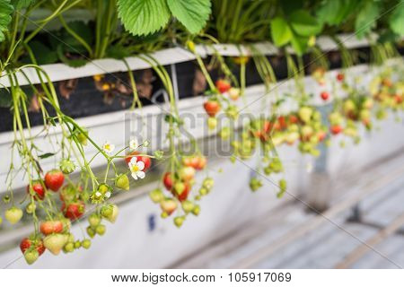 Strawberry Cultivation From Close