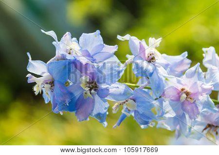 Inflorescence delphinium