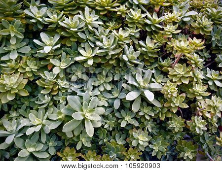 Sedum Spathulifolium, Succulent Plant Of The Family Crassulaceae.