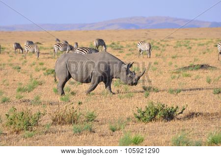 The Black Rhino