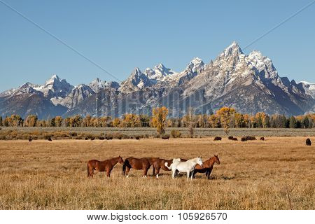 Tetons with Horses and Bison