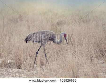 Sandhill Cranes Walking through Tall Grass