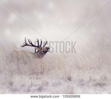 Elk Walking in Tall Grass