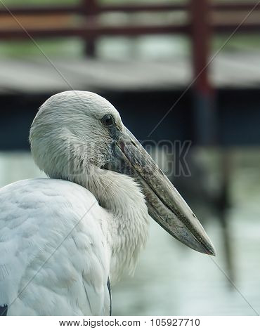 Stork Bird Closeup