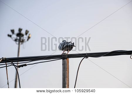 Pigeons On The Phone Line