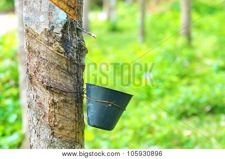 Rubber Tree And Latex Bowl