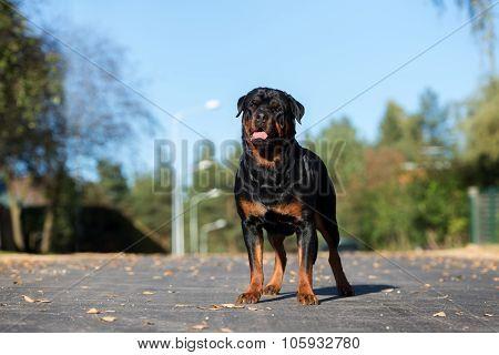beautiful rottweiler dog outdoors in autumn